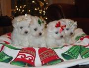 Pretty Male And Femae Maltese Puppies
